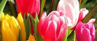 Легенды о тюльпане – Легенды о цветах, мифы и истории