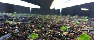 Когда убирать мини-теплицу с подоконника и переводить растения на естественное освещение?