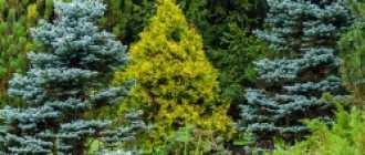 Уход за хвойными растениями в саду: советы, подкормки