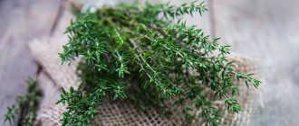 Чабрец обыкновенный, или тимьян ползучий, богородская трава – Лекарственные растения и травы