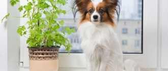 Осторожно: 5 комнатных растений, опасных для домашних животных: описание и фото