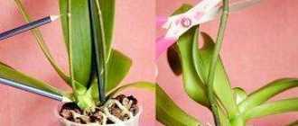 Вырастит ли цветонос у комнатной орхидеи, если его обрезали?