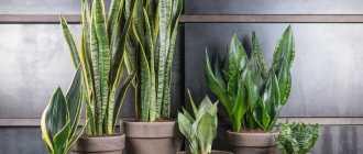 Теневыносливые растения: названия и фото 15 «зелёных питомцев» для северных окон и сумрачных помещений