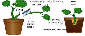 Выращивание черенков в воде – Размножение комнатных растений