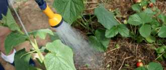Полив огурцов в теплице: как часто поливать, рекомендации и советы