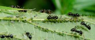 Как избавиться от муравьев на огороде: советы и способы