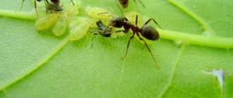 Как избавиться от муравьев на плодовых деревьях: советы и способы