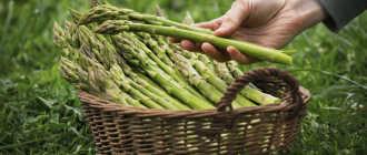 Как разделить старый куст спаржи, чтобы получить урожай овощных побегов?