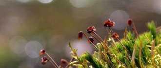 Мох сфагнум для размножения цветов и комнатных растений