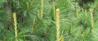 Перед пересадкой кедра не до конца удалила корни предыдущего растения из горшка. Плохо ли это?