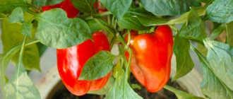 Перцы – самоопыляемые растения или нет?