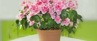 Уход за азалией, как добиться цветения в домашних условиях – Комнатные цветы и растения