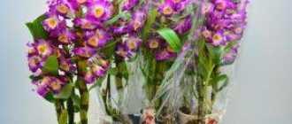 Уход за дендробиумом, выращивание и размножение дендробиума. Как добиться цветения от дендробума