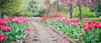 Как ухаживать за тюльпанами? Выращивание тюльпанов, посадка и уход – Садовые цветы