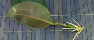 Листовые черенки – Размножение комнатных растений