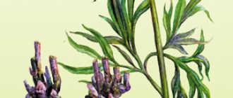 Пион уклоняющийся (марьин корень). Применение настойки пиона – Лекарственные растения