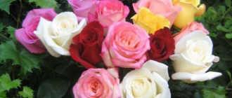 Легенды о розе – Легенды о цветах, мифы и истории