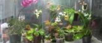 Как ухаживать за орхидеями, выращивание и уход в домашних условиях, освещение для орхидей и полив