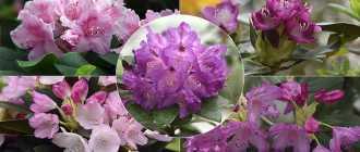 Виды и сорта рододендронов. Альпийская роза – самый маленький Рододендрон