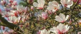 Магнолия: описание, виды и фото – Декоративно цветущие кустарники и деревья