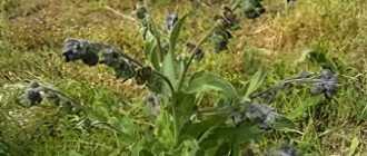 Чернокорень и его лечебные свойства – Лекарственные растения и травы