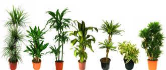 Как ухаживать за драценой, размножение в домашних условиях и пересадка – Комнатные растения цветы